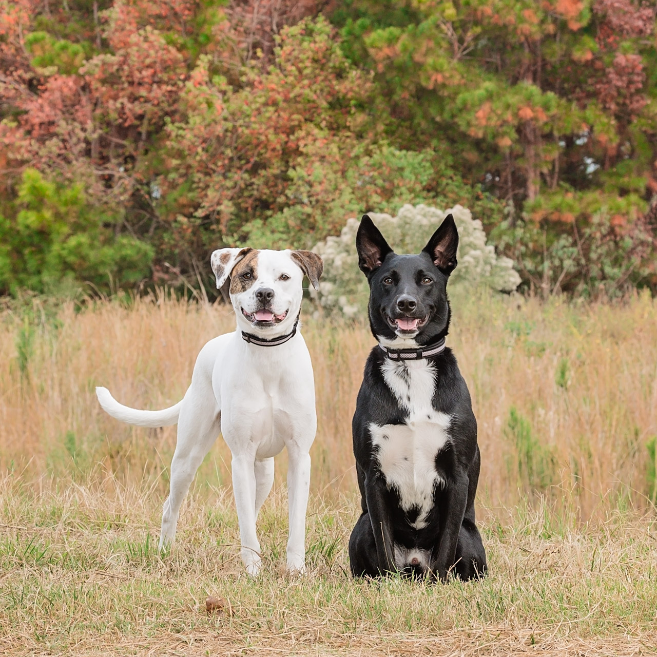 2 dogs in field fall colors Spring TX